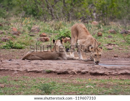 Lioness drinking water in nature thirst together at waterhole - stock photo