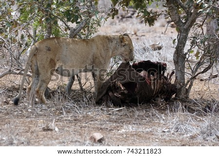 Lioness eating a Cape Buffalo carcass