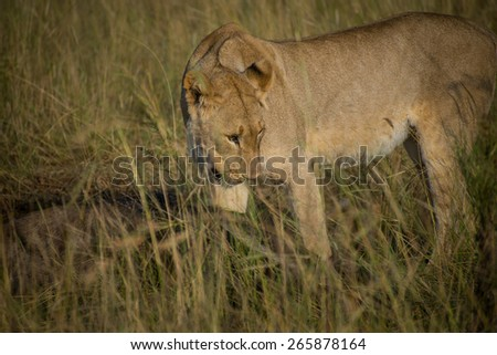 Lioness eating a wildebeest in tall grass on South African plain - stock photo