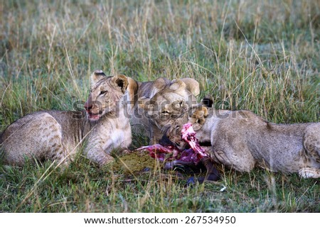Lioness eating a wildebeest in the Masai Mara Nature Reserve (Africa) - stock photo