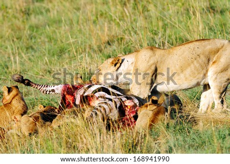 Lioness eating Zebra - stock photo