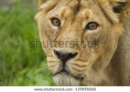 lioness face close up - stock photo