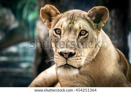 Lioness, Female lion - stock photo