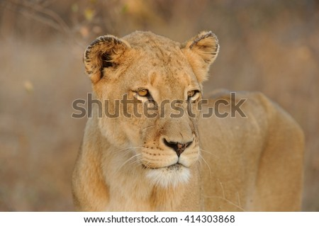 Lioness - Forlorn (Panthera leo)
