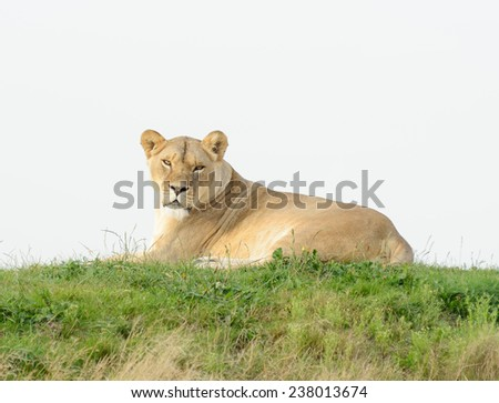 Lioness having a rest lays on grass looking alert - stock photo