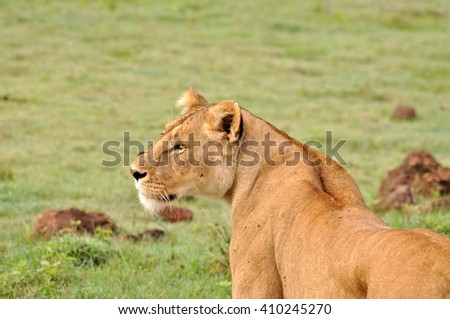 Lioness, head, Africa - stock photo