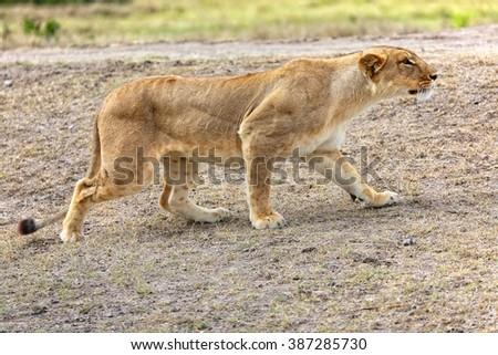 lioness hunting at masai mara national park kenya africa - stock photo
