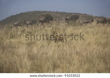 Lioness hunting Wildebeest in the Masai Mara - stock photo