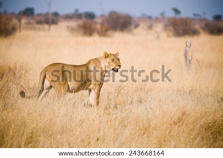 Lioness in a grassy plain in Zimbabwe - stock photo