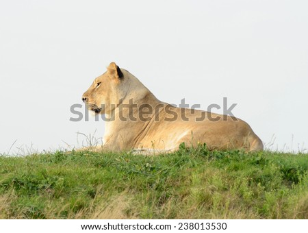 Lioness in profile in evening sun looks alert - stock photo