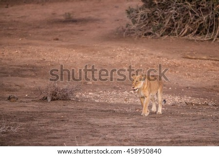 Lioness in the early morning sun, Kruger National Park, South Africa