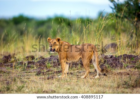 Lioness in the middle of savana in Africa