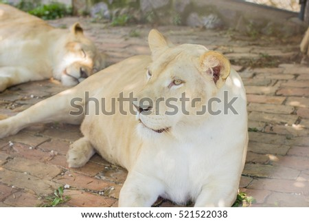 Lioness in the ZOO.