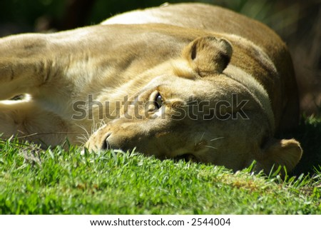 Lioness laying down.
