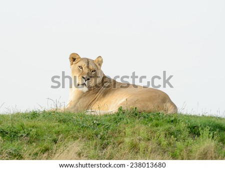 Lioness laying on grass looks alert - stock photo