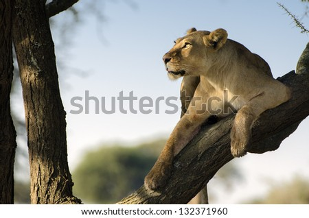 lioness look at the tree with sky light - stock photo