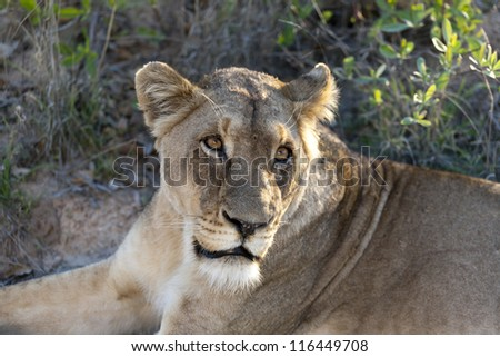 Lioness looking for food