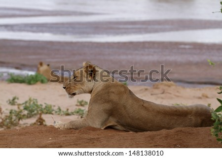 Lioness lying close to a river with other lioness behind - stock photo