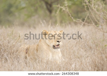lioness lying down in the bush, Kruger, South Africa - stock photo