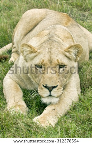 Lioness lying in some lush grass and staring ahead keeping her eyes fixed on some prey - stock photo