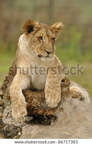 Lioness lying on tree trunk