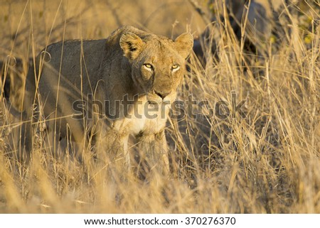 Lioness move in brown grass to a kill - stock photo