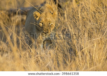 Lioness move in brown grass to a kill
