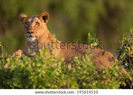 Lioness on a dry tree trunk surrounded by bushes in Samburu National Reserve, Kenya - stock photo