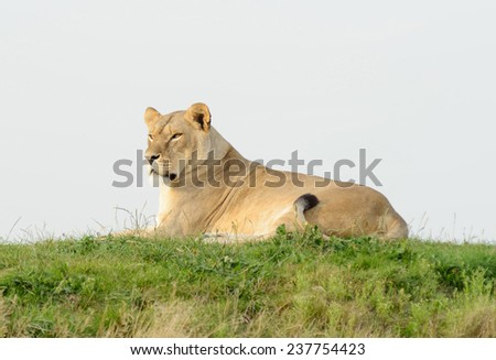 Lioness on a hill resting and watching alert