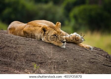 Lioness on the black rock in Kenya