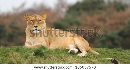 Lioness (Panthera Leo) - stock photo