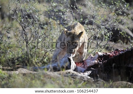Lioness (Panthera leo) and giraffe carcass,Mfolozi game reserve,kwazulu natal,south africa