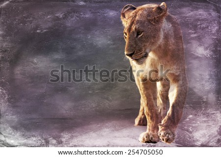 Lioness, Panthera leo, isolated on textured grunge background - stock photo