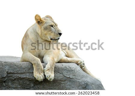 Lioness, Panthera leo, laying on the rock - stock photo