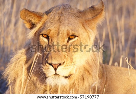 Lioness (panthera leo) lying in savannah in afternoon sun in South Africa