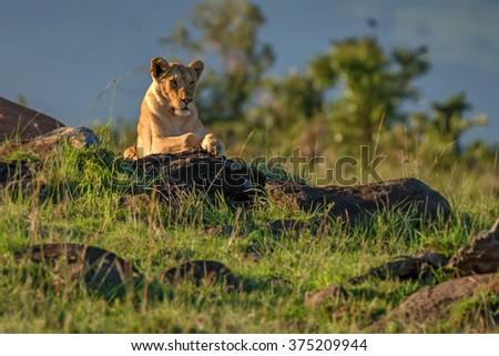 Lioness ( Panthera leo ) resting in national park Ngorongoro, Tanzania - stock photo