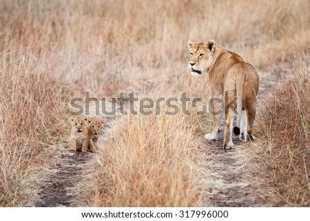 Lioness (Panthera leo) with a couple of young cubs on a dirt road in natural environment of African savanna. Wildlife protection, safari, overland trip concept.  - stock photo