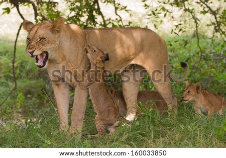 Lioness (Panthera leo) with three cubs. Playful cub receives a snarl from his mother - stock photo