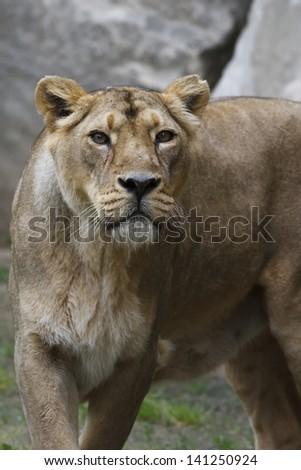 lioness portrait - stock photo