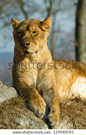 lioness portrait standing on a rock