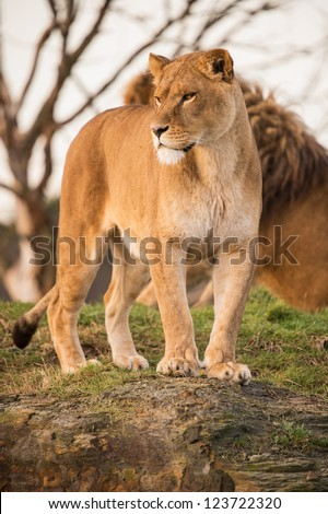 lioness portrait standing on a rock/Lioness - stock photo
