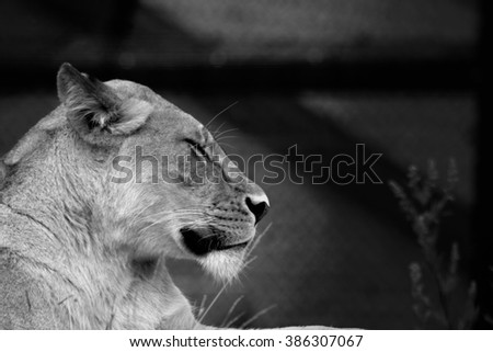 lioness relaxing in norwegian zoo