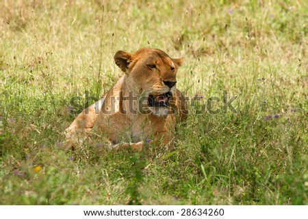 Lioness resting in savannah