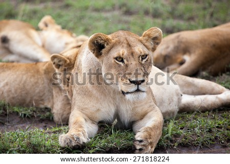 lioness resting in Serengeti NP, Tanzania, Africa  - stock photo