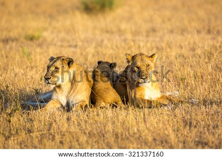 Lioness resting in the Serengeti National Park, Tanzania, Africa