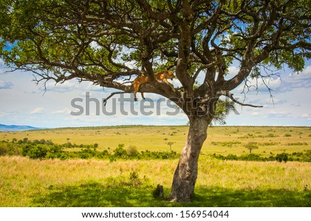 Lioness rests in tree, Maasai Mara National Reserve. - stock photo