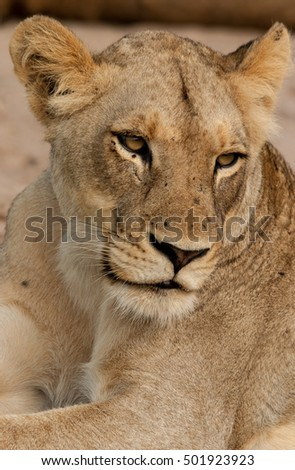 Lioness, Sabie Sands Game Reserve, South Africa