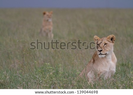 Lioness seating in green grass with another lion on background - stock photo
