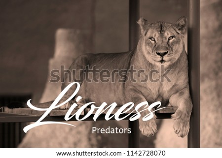 stock-photo-lioness-sitting-on-a-wooden-