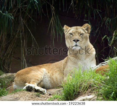 lioness sitting tall